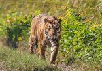 पूर्वपश्चिम महेन्द्र राजमार्गमा मान्छे खाने बाघको आतङ्क